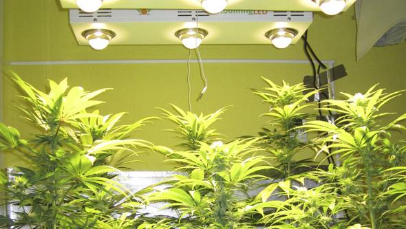 Floracion cannabis LED