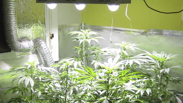 Marihuana floreciendo LED