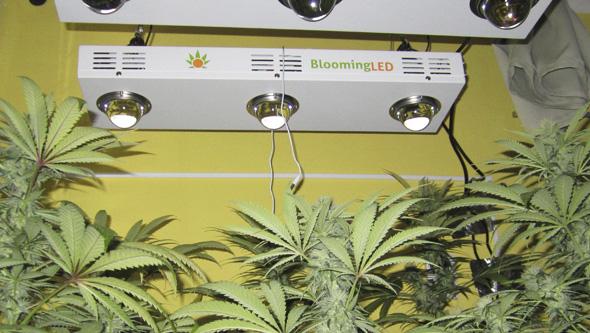 Blooming LED marihuana