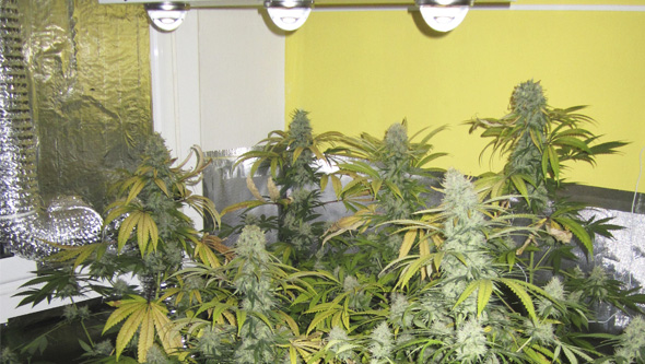 Cultivo marihuana LED