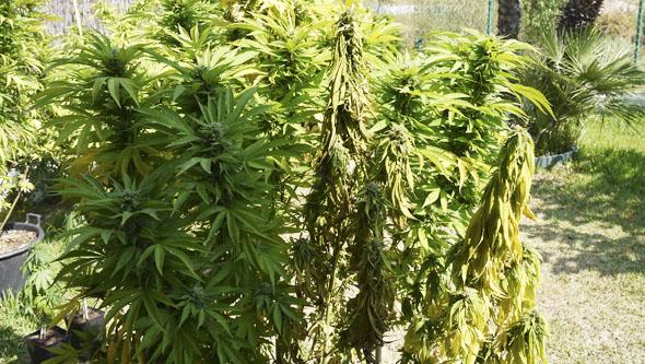 Fusarium y marihuana