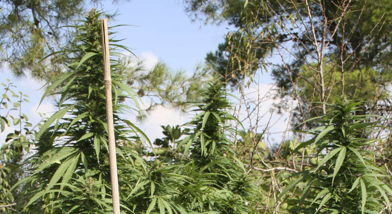 Planta marihuana exterior