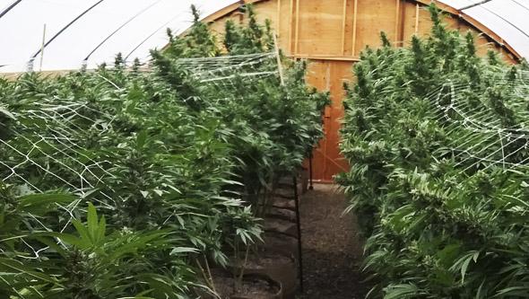 cultivar marihuana maceta