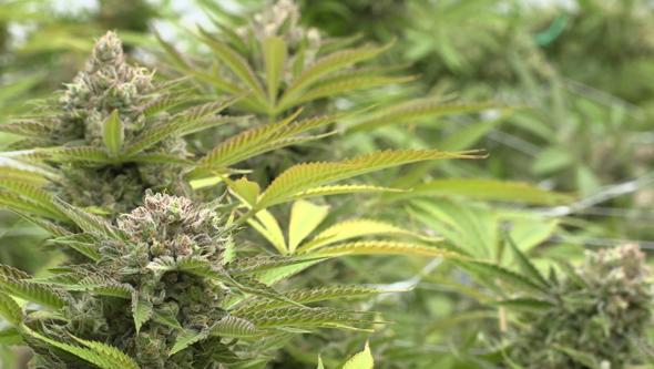 critical dinafem seeds