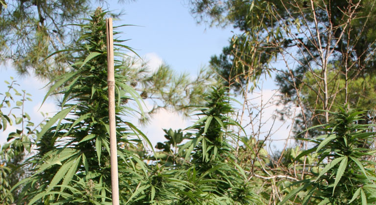 outdoor cultivation