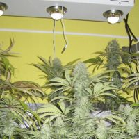 Floracion marihuana LED