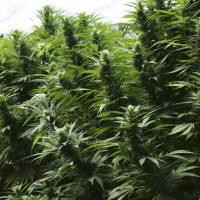 Como cultivar marihuana en exterior