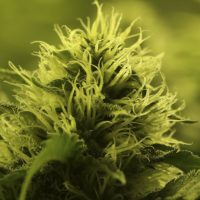 Cómo distinguir marihuana macho y hembra