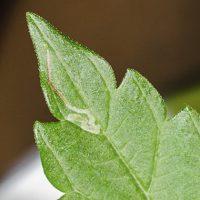 Como prevenir y eliminar el minador de hojas en marihuana