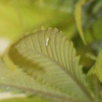 Como prevenir y eliminar la mosca blanca en marihuana