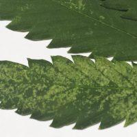 Cómo prevenir y eliminar trips en plantas de marihuana