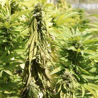 Fusarium en marihuana