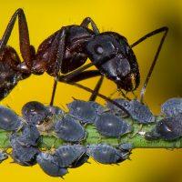 hormigas y pulgones colaborando