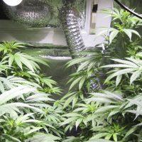 LED y cultivo de marihuana