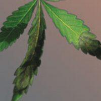 carencia-fosforo-cannabis