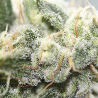 Como abonar plantas de marihuana