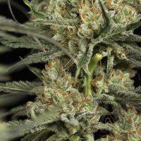 cultivar marihuana en interior
