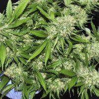 Como manicurar plantas de marihuana