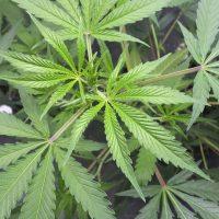Como regar plantas de marihuana