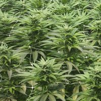 fallos cultivo marihuana