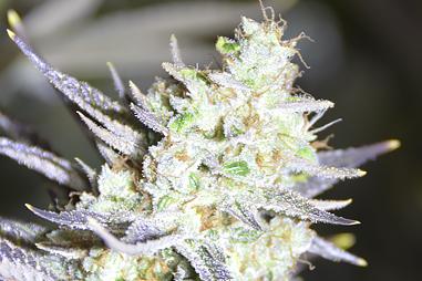 Como abonar marihuana