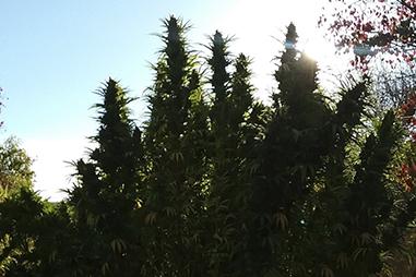 Semillas cannabis