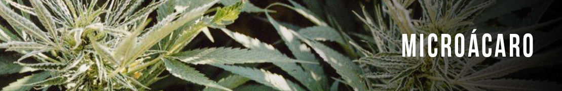 Micro acaro cannabis