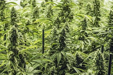 Marcas de semillas de marihuana