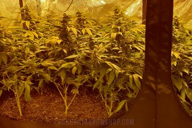Sustratos para cannabis