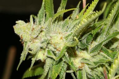 Sustratos para marihuana