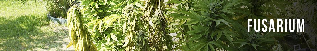Fusarium cannabis