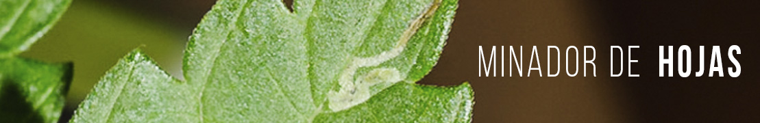 Minador de hojas