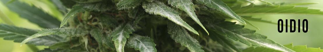 Oidio plantas