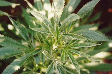 Eliminar plagas en marihuana